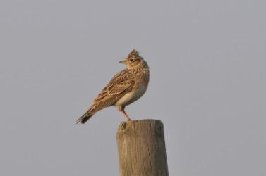 A sky lark perches on a pole.