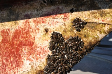 Barnacles on the hull of a ship.