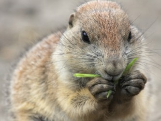 A groundhog nibbles a piece of grass.