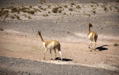 Llamas walking across a barren landscape.