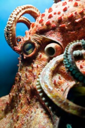 A giant octopus.