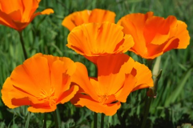 Beautiful orange California poppies.