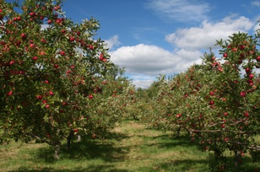 A pleasant apple orchard.