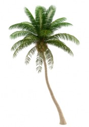 A coconut palm tree.