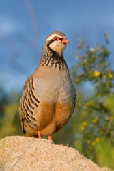 A red legged partridge.
