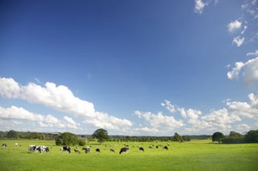 Cows grazing in a large pasture.