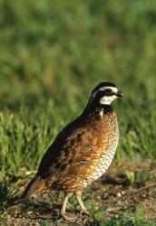 A male bobwhite quail.