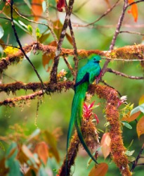 A beautiful male quetzal.