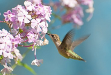 Quick is the motion of a hummingbird's wings.