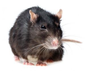 A grey rat.