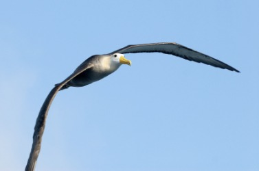 An albatross in flight.