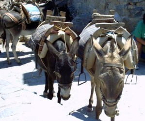 Several donkeys being used as beasts of burden.