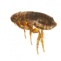 An example of vermin is this flea.
