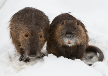 A pair of beavers in the snow.