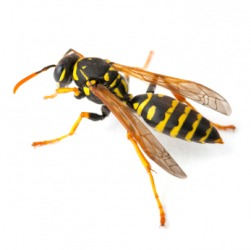 One type of wasp.