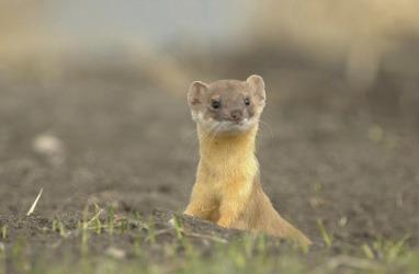 A cute little weasel.