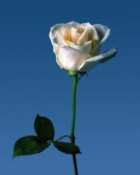 A lovely blue rose.