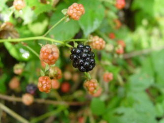 This blackberry bush is an example of a bramble.