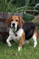 A beagle is one breed of dog.