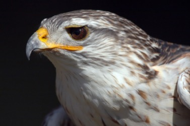 This night hawk is an example of a brevirostrate.