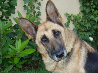 This German shepherd is a canine.