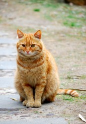 This cat is an orange tabby.