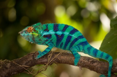 The chameleon is an example of a debrouillard.