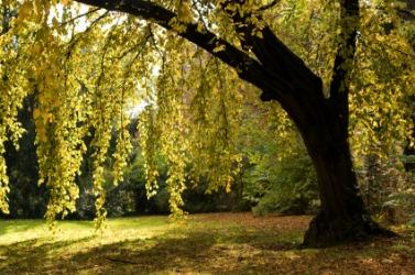 An alder tree in the summer sun.