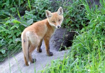 A fox outside her den.