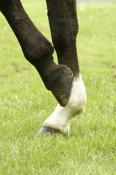 The gambs of a horse.