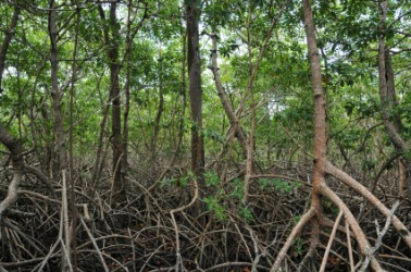 Tangled mangroves in a swamp.
