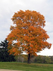 A maple tree in Autumn.