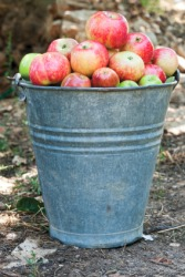 A quantity of apples in a barrel.