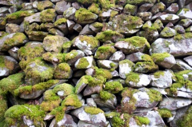 Moss is an example of saxicolous.