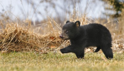 A bear cub scampers in the grass.