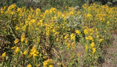 A field of one type of bitterweed.