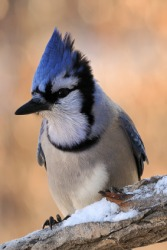 A blue jay on a snowy branch.