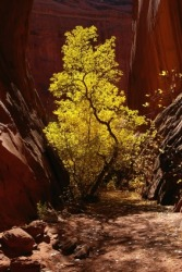A box elder growing in a canyon.