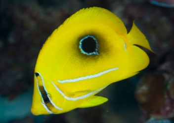A bright yellow butterflyfish.