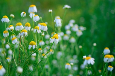 A field of wild camomile.