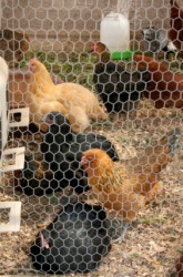 Chickens inside a pen made with chicken wire.