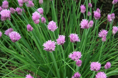Flowering chives growing in a garden.