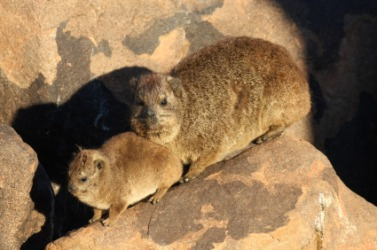 A daman, or hyrax with cub.