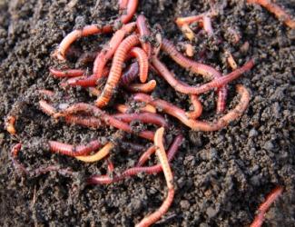 نقش کرم خاکی در تغذیه آبزیان