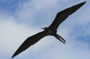 A frigate bird in flight.