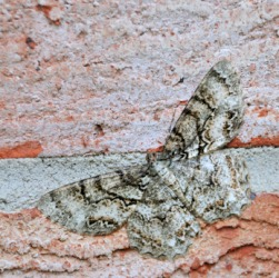 a description of the gypsy moth Gypsy moth caterpillars are back for 2017 following a huge 2016 outbreak across central and western massachusetts.