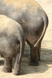 The haunches of a pair of elephants.