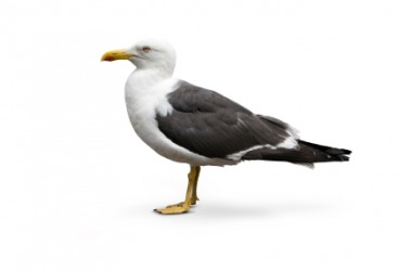 A herring gull.