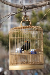 A pet hill myna in a cage.