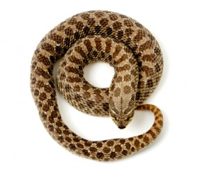 A coiled hognose snake.